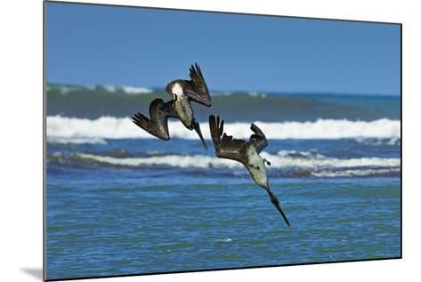 Pair of Brown Pelicans (Pelecanus Occidentalis) Dive for Fish at the Nosara River Mouth-Rob Francis-Mounted Photographic Print