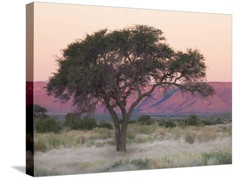 Camelthorn Tree Against Sandstone Mountains Lit by the Last Rays of Light from the Setting Sun-Lee Frost-Stretched Canvas Print
