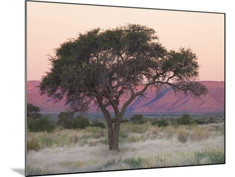 Camelthorn Tree Against Sandstone Mountains Lit by the Last Rays of Light from the Setting Sun-Lee Frost-Mounted Photographic Print