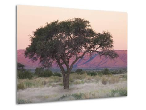 Camelthorn Tree Against Sandstone Mountains Lit by the Last Rays of Light from the Setting Sun-Lee Frost-Metal Print