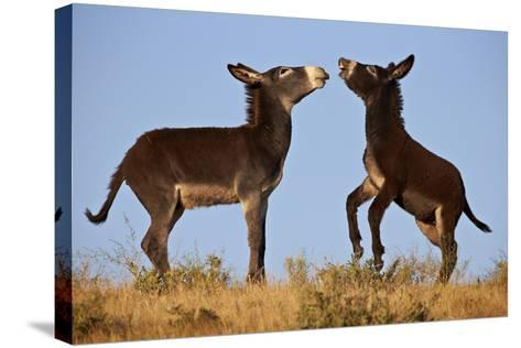 Two Young Wild Burro (Donkey) (Equus Asinus) (Equus Africanus Asinus) Playing-James Hager-Stretched Canvas Print