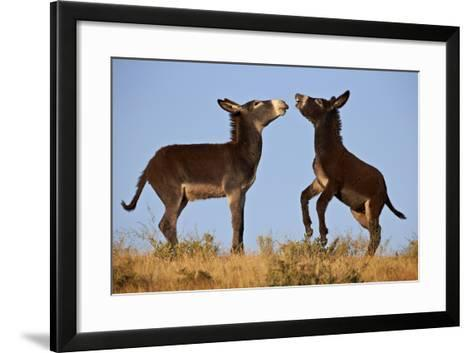 Two Young Wild Burro (Donkey) (Equus Asinus) (Equus Africanus Asinus) Playing-James Hager-Framed Art Print