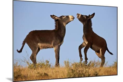 Two Young Wild Burro (Donkey) (Equus Asinus) (Equus Africanus Asinus) Playing-James Hager-Mounted Photographic Print