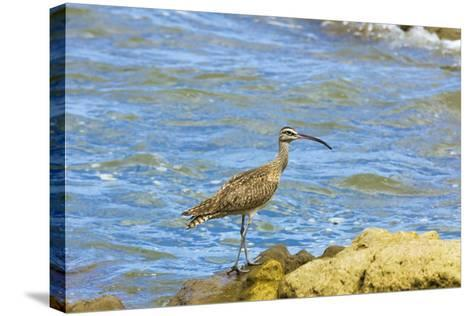 Long-Billed Curlew (Numenius Americanus) on Playa Guiones Beach at Nosara-Rob Francis-Stretched Canvas Print