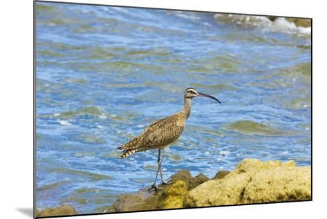 Long-Billed Curlew (Numenius Americanus) on Playa Guiones Beach at Nosara-Rob Francis-Mounted Photographic Print