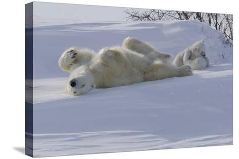 Polar Bear (Ursus Maritimus) and Cubs-David Jenkins-Stretched Canvas Print