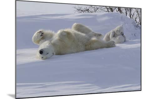 Polar Bear (Ursus Maritimus) and Cubs-David Jenkins-Mounted Photographic Print