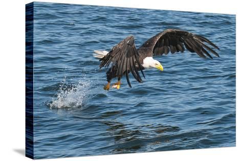Bald Eagle (Haliaeetus Leucocephalus) Near Prince Rupert, British Columbia, Canada, North America-Michael DeFreitas-Stretched Canvas Print