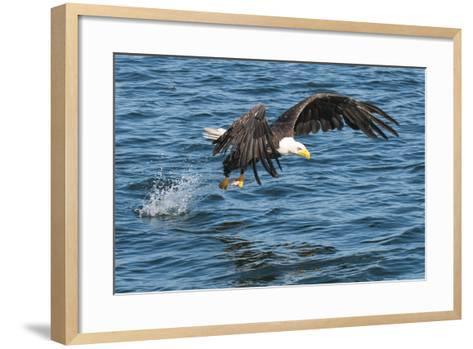 Bald Eagle (Haliaeetus Leucocephalus) Near Prince Rupert, British Columbia, Canada, North America-Michael DeFreitas-Framed Art Print