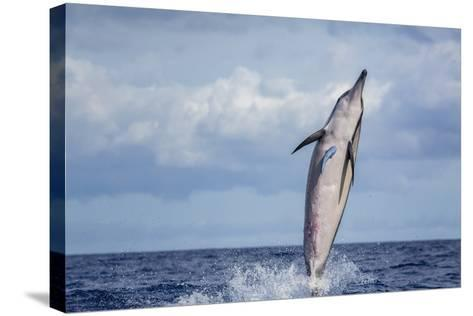 Hawaiian Spinner Dolphin (Stenella Longirostris)-Michael Nolan-Stretched Canvas Print