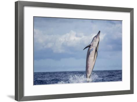 Hawaiian Spinner Dolphin (Stenella Longirostris)-Michael Nolan-Framed Art Print