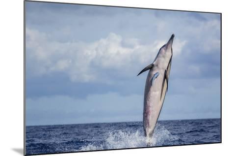 Hawaiian Spinner Dolphin (Stenella Longirostris)-Michael Nolan-Mounted Photographic Print