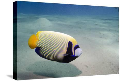 Emperor Angelfish (Pomacanthus Imperator) Close to Sandy Seabed-Mark Doherty-Stretched Canvas Print