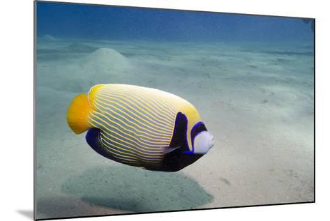 Emperor Angelfish (Pomacanthus Imperator) Close to Sandy Seabed-Mark Doherty-Mounted Photographic Print
