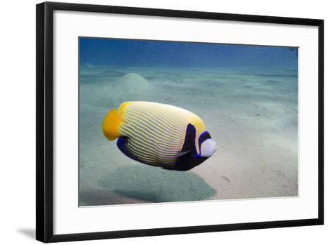Emperor Angelfish (Pomacanthus Imperator) Close to Sandy Seabed-Mark Doherty-Framed Art Print