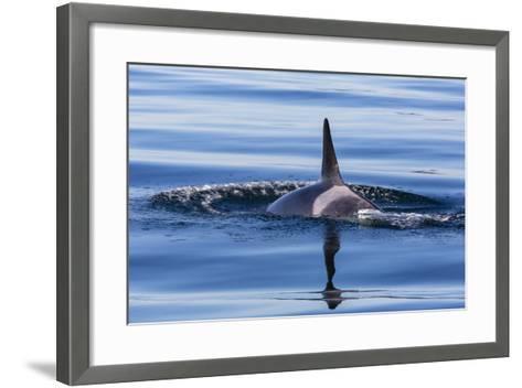 Resident Killer Whale-Michael Nolan-Framed Art Print