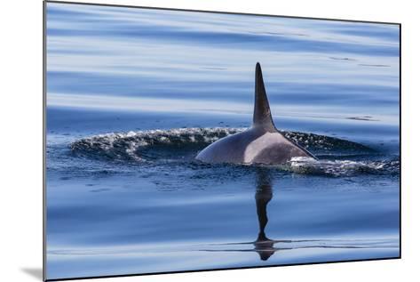 Resident Killer Whale-Michael Nolan-Mounted Photographic Print