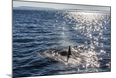 Resident Killer Whale-Michael Nolan-Mounted Photographic Print