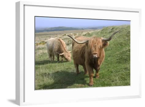 Highland Cattle Grazing on Dartmoor, Dartmoor National Park, Devon, England, United Kingdom, Europe-James Emmerson-Framed Art Print