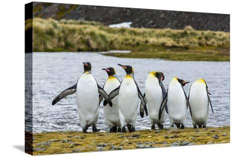 King Penguins (Aptenodytes Patagonicus)-Michael Nolan-Stretched Canvas Print