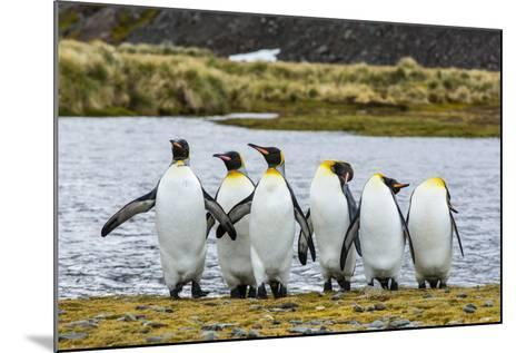 King Penguins (Aptenodytes Patagonicus)-Michael Nolan-Mounted Photographic Print