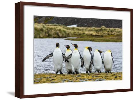 King Penguins (Aptenodytes Patagonicus)-Michael Nolan-Framed Art Print