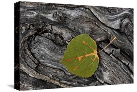 Aspen Leaf Turning Red-James Hager-Stretched Canvas Print