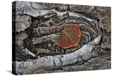 Aspen Leaf Turning Red and Orange-James Hager-Stretched Canvas Print