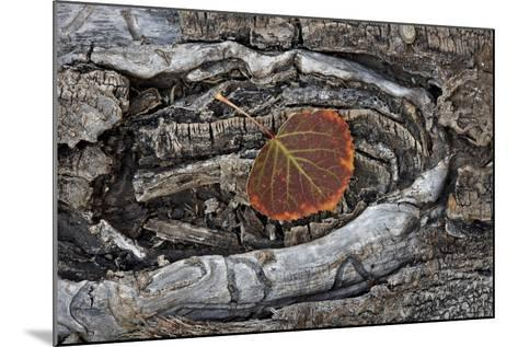 Aspen Leaf Turning Red and Orange-James Hager-Mounted Photographic Print