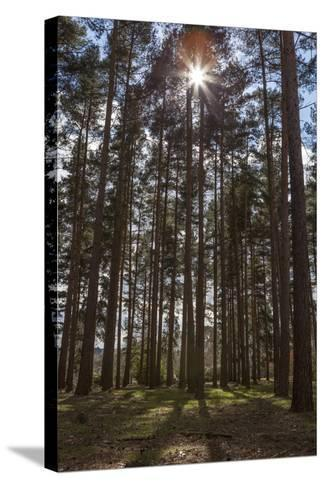 Tall Trees with Sunlight Breaking Through, Virginia Water, Surrey, England, United Kingdom, Europe-Charlie Harding-Stretched Canvas Print