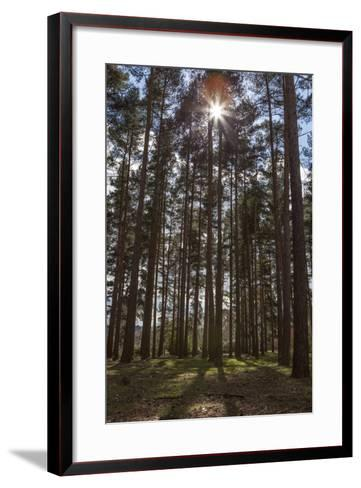 Tall Trees with Sunlight Breaking Through, Virginia Water, Surrey, England, United Kingdom, Europe-Charlie Harding-Framed Art Print