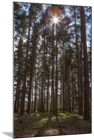 Tall Trees with Sunlight Breaking Through, Virginia Water, Surrey, England, United Kingdom, Europe-Charlie Harding-Mounted Photographic Print