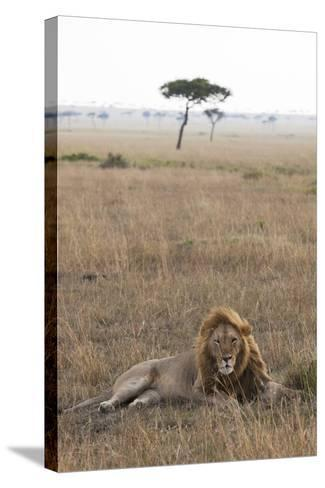 Lion (Panthera Leo), Masai Mara National Reserve, Kenya, East Africa, Africa-Ann and Steve Toon-Stretched Canvas Print
