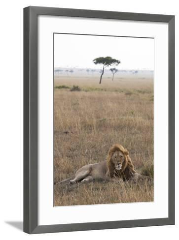 Lion (Panthera Leo), Masai Mara National Reserve, Kenya, East Africa, Africa-Ann and Steve Toon-Framed Art Print