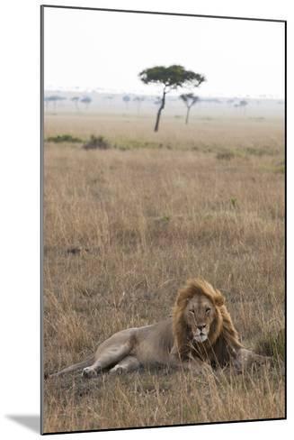 Lion (Panthera Leo), Masai Mara National Reserve, Kenya, East Africa, Africa-Ann and Steve Toon-Mounted Photographic Print