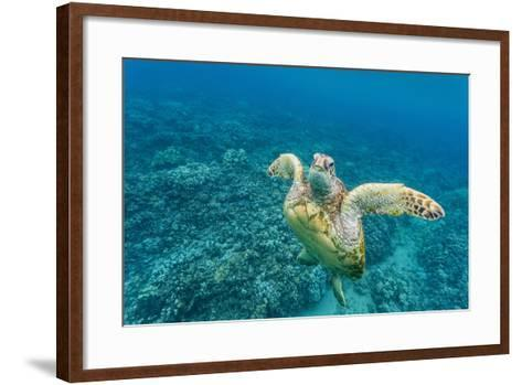 Green Sea Turtle (Chelonia Mydas) Underwater, Maui, Hawaii, United States of America, Pacific-Michael Nolan-Framed Art Print