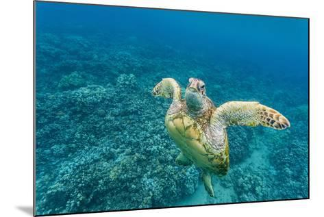 Green Sea Turtle (Chelonia Mydas) Underwater, Maui, Hawaii, United States of America, Pacific-Michael Nolan-Mounted Photographic Print