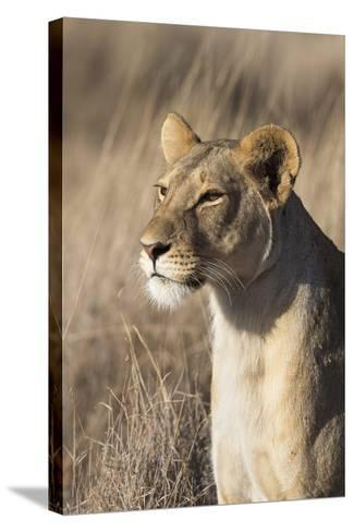 Lioness (Panthera Leo), Lewa Wildlife Conservancy, Laikipia, Kenya, East Africa, Africa-Ann and Steve Toon-Stretched Canvas Print