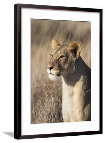 Lioness (Panthera Leo), Lewa Wildlife Conservancy, Laikipia, Kenya, East Africa, Africa-Ann and Steve Toon-Framed Art Print
