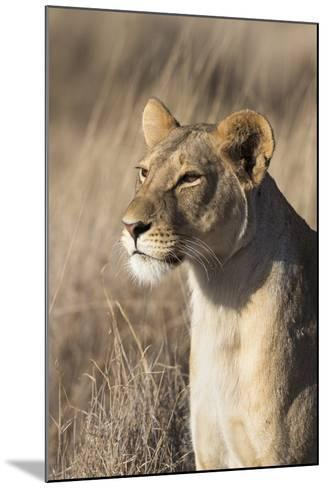 Lioness (Panthera Leo), Lewa Wildlife Conservancy, Laikipia, Kenya, East Africa, Africa-Ann and Steve Toon-Mounted Photographic Print