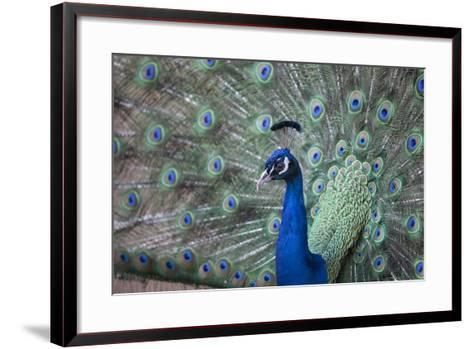Peacock, Cotswold Wildlife Park, Costswolds, Gloucestershire, England, United Kingdom, Europe-Charlie Harding-Framed Art Print