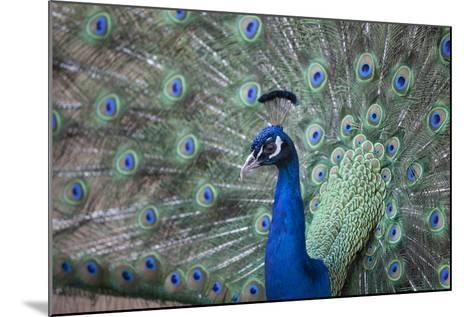 Peacock, Cotswold Wildlife Park, Costswolds, Gloucestershire, England, United Kingdom, Europe-Charlie Harding-Mounted Photographic Print