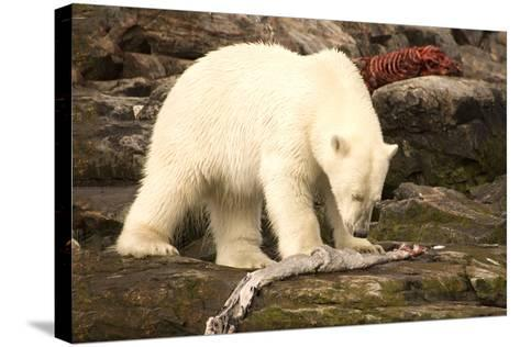 Polar Bear Feeding on a Seal Carcass, Button Islands, Labrador, Canada, North America-Gabrielle and Michel Therin-Weise-Stretched Canvas Print