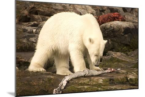 Polar Bear Feeding on a Seal Carcass, Button Islands, Labrador, Canada, North America-Gabrielle and Michel Therin-Weise-Mounted Photographic Print