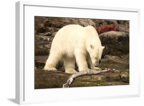 Polar Bear Feeding on a Seal Carcass, Button Islands, Labrador, Canada, North America-Gabrielle and Michel Therin-Weise-Framed Art Print