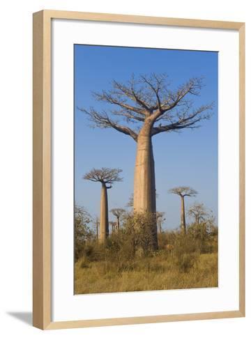 Baobabs (Adansonia Grandidieri), Morondava, Madagascar, Africa-Gabrielle and Michel Therin-Weise-Framed Art Print