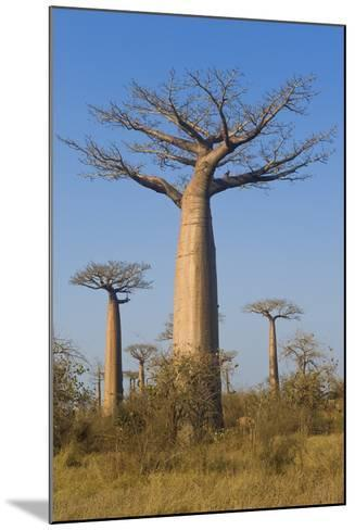Baobabs (Adansonia Grandidieri), Morondava, Madagascar, Africa-Gabrielle and Michel Therin-Weise-Mounted Photographic Print