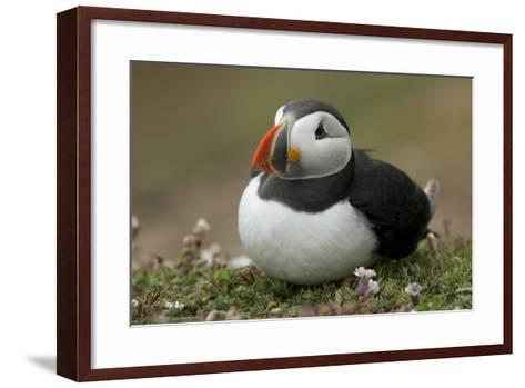 Puffin, Wales, United Kingdom, Europe-Andrew Daview-Framed Art Print