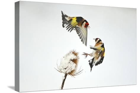 Two Goldfinches (Carduelis Carduelis) Squabbling over Common Teasel Seeds, Cambridgeshire, UK-Mark Hamblin-Stretched Canvas Print