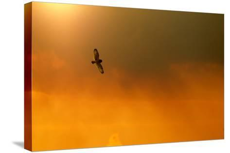 Short-Eared Owl (Asio Flammeus) in Flight, Backlit, at Dusk, Lincolnshire, UK, March-Ben Hall-Stretched Canvas Print